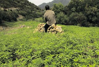 Cannabis cultivation in Morocco