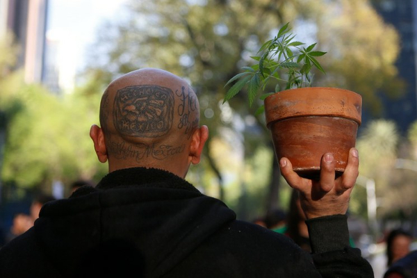 mexico cannabis plant pot