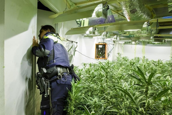 nl cannabis cultivation police